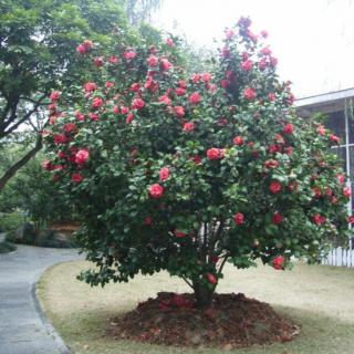Camellia Sasanqua 1