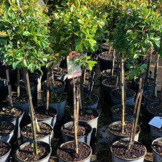 Ficus – Lilly pilly