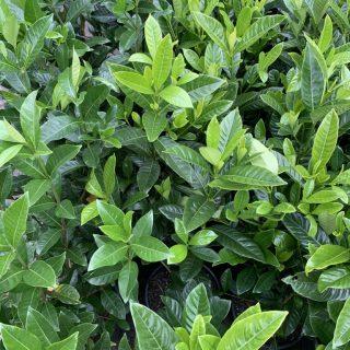 Gardenia Magnifica 1