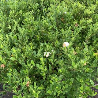 Gardenia Ocean Pearl 1