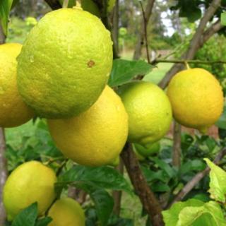Lemon Tree – Eureka 1