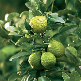 Lime Tree – Kaffir 1