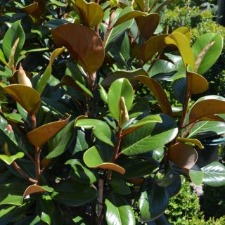 Magnolia – Little Gem 1