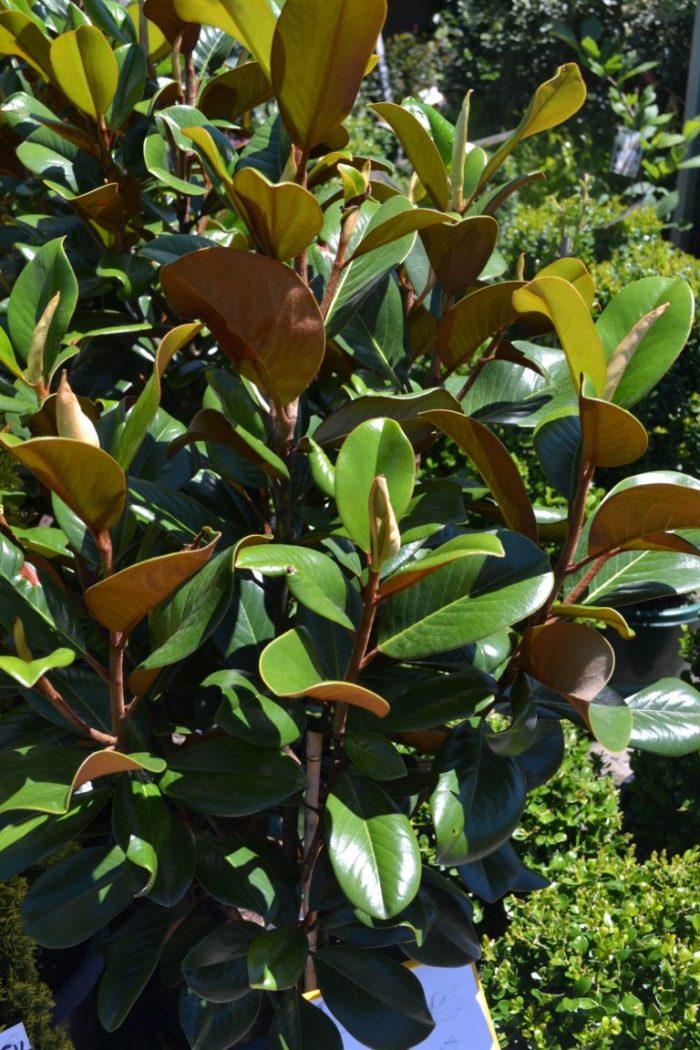 Magnolia - Little Gem