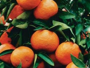 Mandarin Tree – Emperer 1