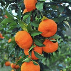 Mandarin Tree – Imperial 1