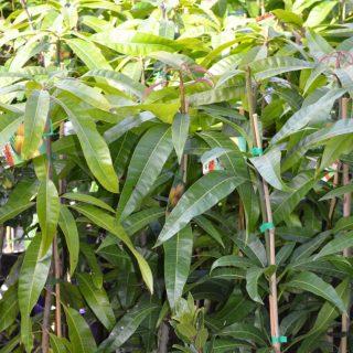 Mango Tree 1