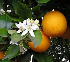 Orange Tree – Navel 1