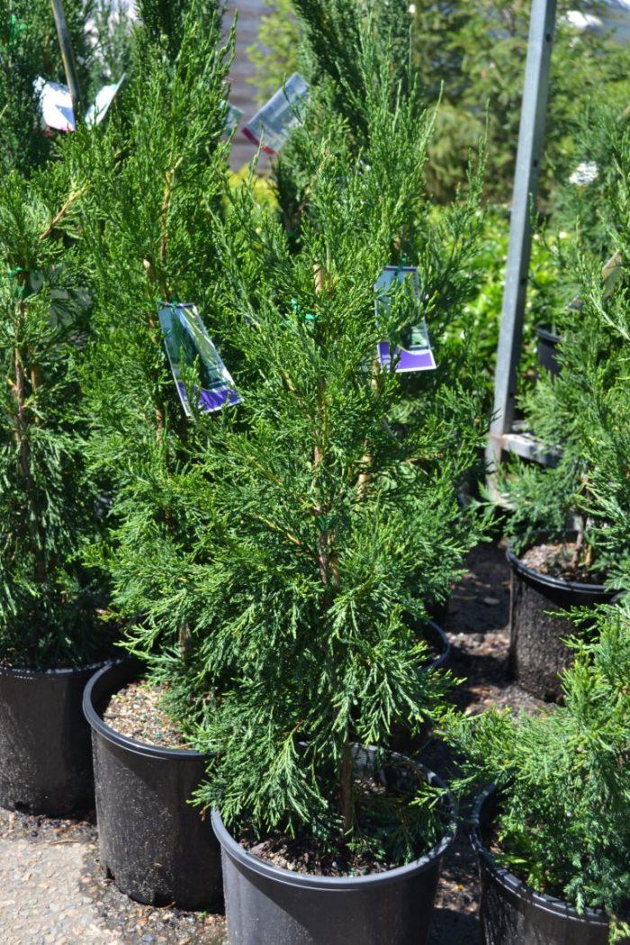 Spartan Juniperus