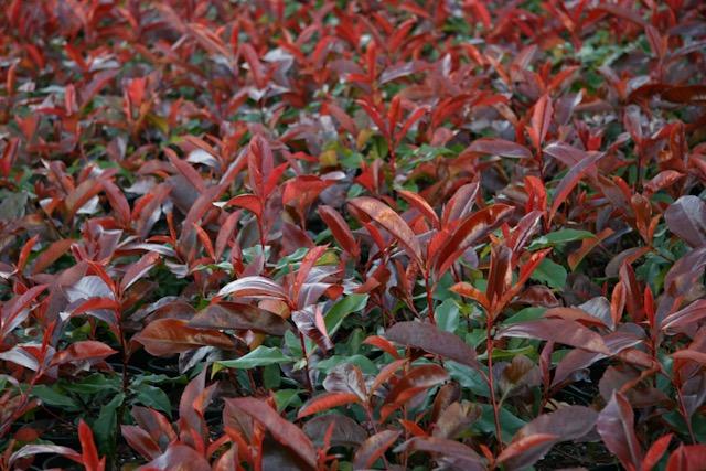 Photinias - Red Robin